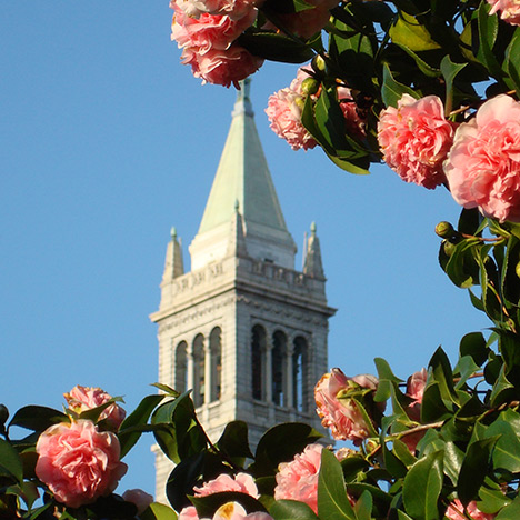 Campanile with camellias. Photo by Steven Finacom.