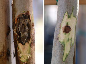 infected/treated trees