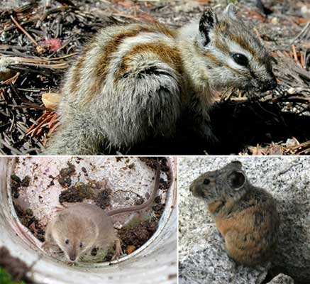 Small mammals in Yosemite