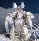 Mantis shrimp in white light