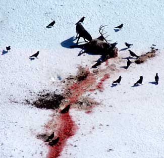 Ravens and magpies wait for wolf to finish eating