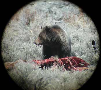 Bear and a magpie pick off the remains of an elk killed by wolves