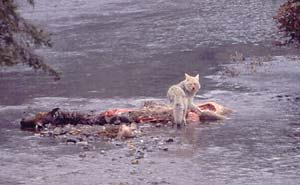 Coyote feed on wolf-killed elk