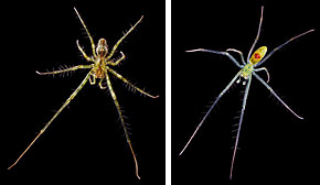 Hawaiian spiders