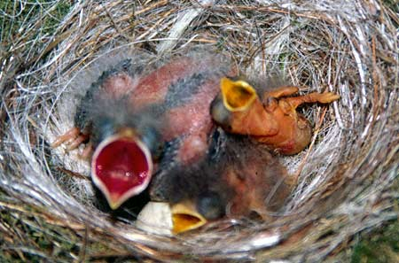 A naturally parasitized nest of an Eastern phoebe by the brown-headed cowbird. The larger, redder gape belongs to the older parasitic cowbird chick, while the smaller, paler gapes are of the hosts' own phoebe young.