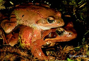 European common frogs mating