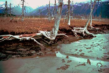 Ghost forest along Alaska's Cook Inlet
