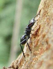2.9.2005 - Discovery of gliding ants shows wingless flight has arisen  throughout the animal kingdom