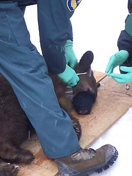 Biologists attach radio tracking collar to bear cub