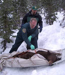 Biologists ready a sedated bear for transfer to its new den