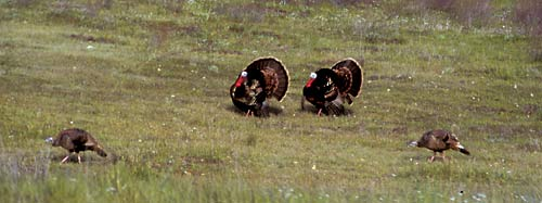 Mal wild turkeys try to attract mates