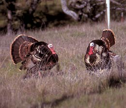 A pair of male wild turkeys