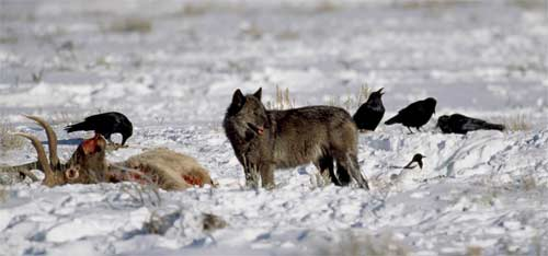 Wolf and scavenger birds near elk carcass