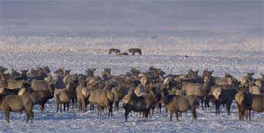 Herd of elk watch wolves