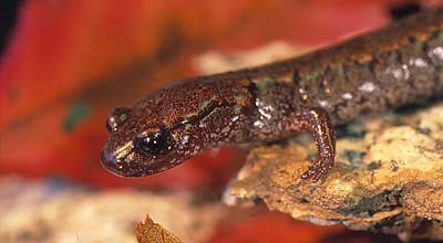 Korean crevice salamander