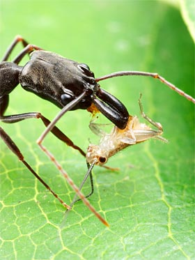 Trap-jaw ant with prey