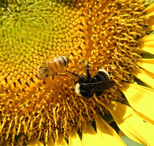 Honey bee and wild bee forage on sunflower