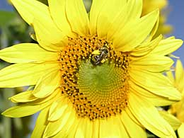 Wild bee on sunflower