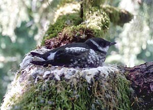 Marbled murrelet on nest