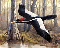 Audubon print of the ivory-billed woodpecker
