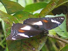 female h. bolina butterfly