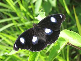 male h. bolina butterfly