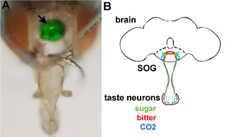 fly brain and diagram of taste neurons