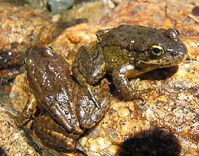 Uninfected frogs