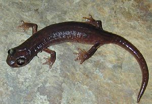 California salamander