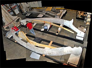 measuring a blue whale jawbone in the National Museum of Natural History