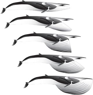 sequence illustrates the six-second feeding lunge of a fin whale