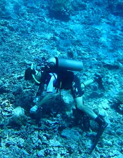 collecting marine invertebrates on a Moorea reef