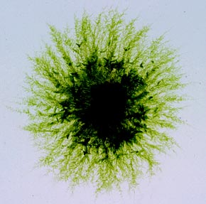 colony of the moss Physcomitrella patens
