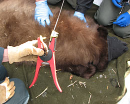 Preparing to clip radio tracker to bear cub's ear