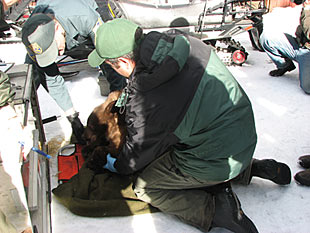 Biologists ready sedated black bear cub for transport