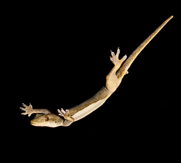 gecko skydiving in a wind tunnel