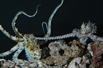 Octopus mating