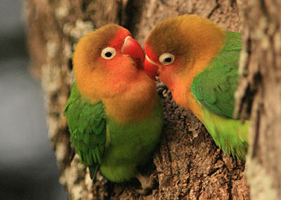 New genetic study of birds shows that parrots such as these african