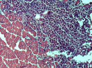 muscle tissue from a young mouse
