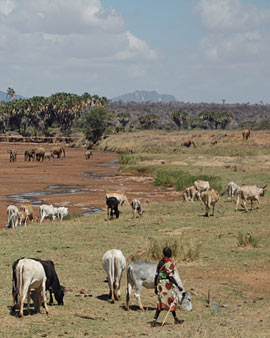 Woman herding cattle in the Samburu National Reserve
