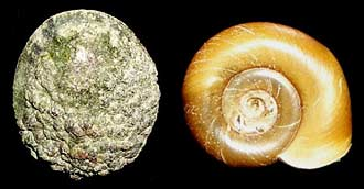 Limpet and snail shells