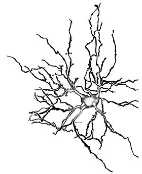 drawing of a thalamocortical relay neuron