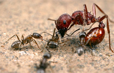 Argentine ants attack a harvester ant