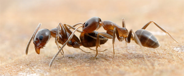 10 27 2009 - When ants attack: Researchers recreate