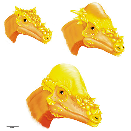 Three ages of Pachycephalosaurus  dinosaur