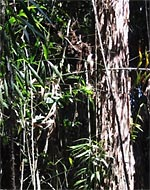 Rattan in the forest