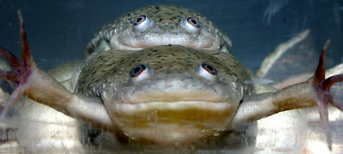 An atrazine-induced female frog (a genetic male) is shown (bottom) copulating with an unexposed male sibling.