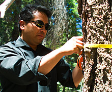 Patrick Gonzalez measuring a white fir tree