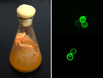 beaker of fungus colony and second image of yeast tagged with green fluorescent protein