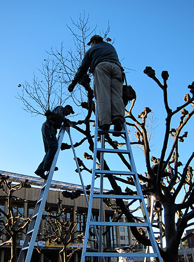 Pruning Sproul Plaza trees